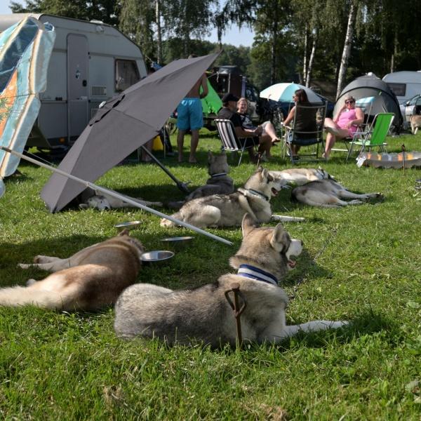 Musherským psům bylo na sluníčku asi trochu teplo